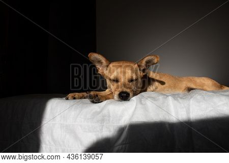 Mixed-breed Dog Sleeping In Bed In A Dark Room Illuminated By A Strip Of Sunlight. Light And Shadow