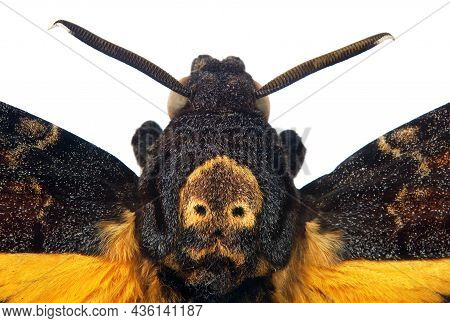 Death's-head Hawkmoth Isolated On A White Close Up. Acherontia Atropos. Large Rare Moth.