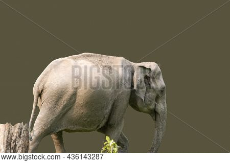 The Asian Elephant, Also Known As The Asiatic Elephant, Is The Only Living Species Of The Genus Elep