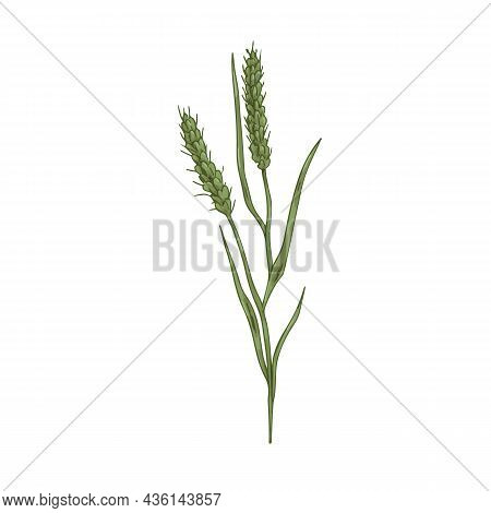 Foxtail, Field Plant. Botanical Vintage Drawing Of Bristle Spear Grass. Wild Spikelet With Seeds, Sp