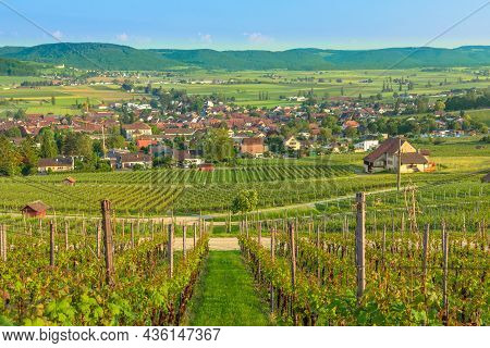 Panoramic Landscape Of Terraced Vineyards In Hallau Winegrowing Town In Swiss Countryside And Hallau