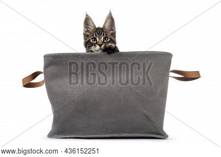 Adorable Classic Black Tabby Maine Coon Cat Kitten, Sitting In Gray Basket. Looking Over Edge Straig