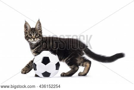 Adorable Classic Black Tabby Maine Coon Cat Kitten, Moving Side Ways Playing With Ball. Looking Stra