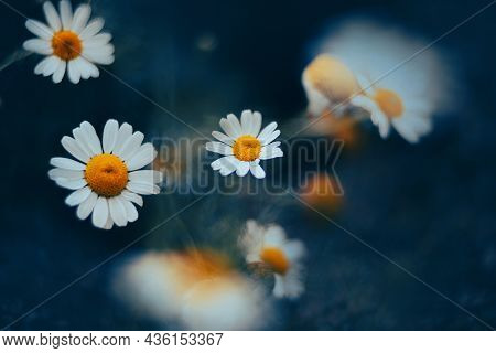 In The Summer Twilight, Bright, Beautiful Fragrant Daisies With White Petals Bloom. Nature And Plant