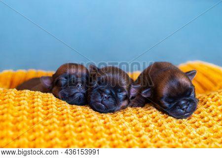 Three Newborn Puppies Brussels Griffon Sleeping On A Blanket