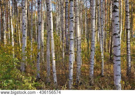 Autumn In A Birch Grove.red Leaves Lie On The Ground.