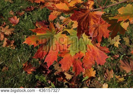 Close Up Of Colourful Maple Leaves In The Background Of Multicoloured Leaves On The Grass In Autumn