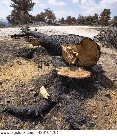 A Burnt Old Pine Tree Cut Off After A Wildfire In The Mediterranean Woodland In The Judea Mountains