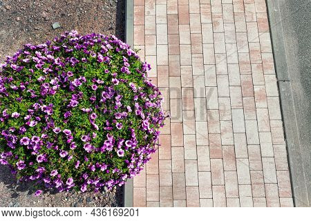 Top Above View Beautiful Flowerbed With Blossoming Bright Red Petunia Flowers Along Green Cobble Pav