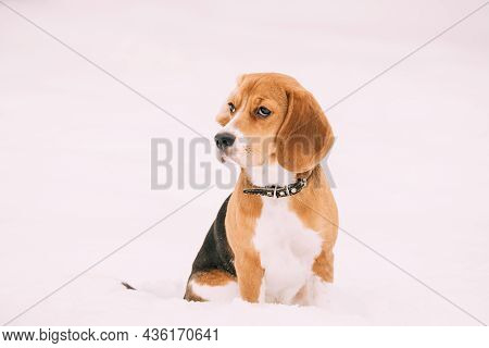 Sad Puppy Of English Beagle Sitting In Snow At Winter Day. Beagle Is A Breed Of Small Hound.