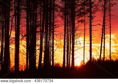 Sunset Sunrise In Pine Forest. Close View Of Dark Black Spruce Trunks Silhouettes In Natural Sunligh
