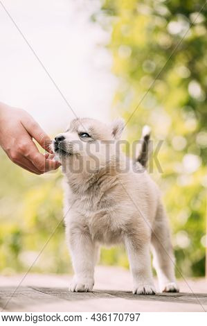 Four-week-old Husky Puppy Of White-gray Color Sitting On Wooden Ground And Licks Its Lips.