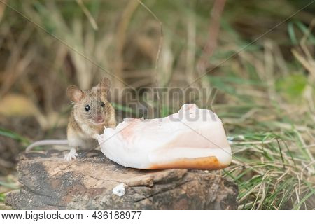 A Mouse In The Forest Eats Lard Brought By A Man. Wood Mice Apodemus Sylvaticus.