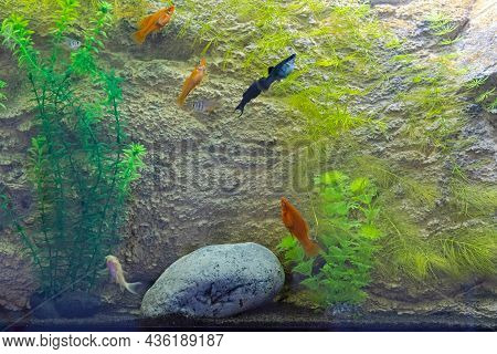Small Colourful Fish In  Aquarium With Stone And Plants Home Decor