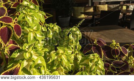 A Street Cafe Decorated With Green Plants. Cafe Terrace In European City Vases With Green Plants. Re