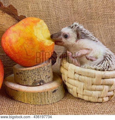 African Dwarf Hedgehog In Basket Eating Red Apple Bitten.