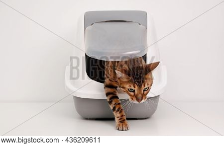 Beautiful Purebred Brainy Bengal Cat Coming Out Of Litter Box On White Gray Background.training To U