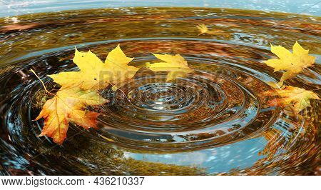 Autumn Background Yellow Maple Leaves Fell On The Water. Circles On The Water Reflection Shine. Fall