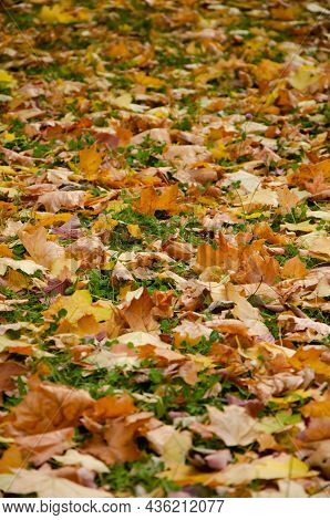 Close-up Fallen Colorful Leaves On The Green Grass. Autumn Concept. Autumn Foliage. Colorful Autumn