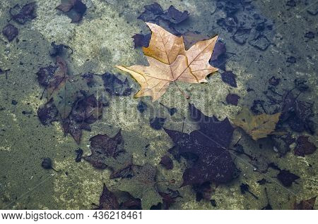 A Dry Leaf Fallen From A Tree Floating On A Pond Of Water, In The Bottom Decomposed Leaves On A Back