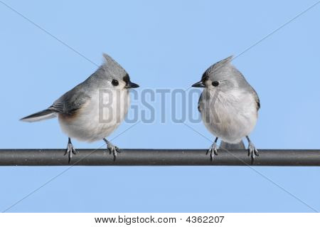 Pair of Tufted Titmice (baeolophus bicolor) with a blue sky background poster