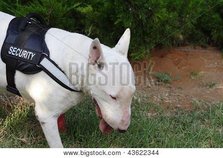 Fighting dog Bull Terrier Breed