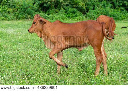 Cow, Calf Standing On The Grass Field,  Stands On Green Grass.