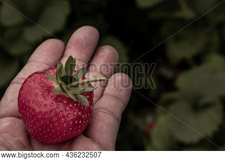 The Strawberry In A Man Palm In A Garden, Fresh Organic Strawberries Organic From Natural Farms, Saf