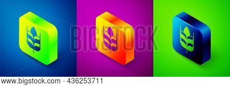 Isometric Cereals Set With Rice, Wheat, Corn, Oats, Rye, Barley Icon Isolated On Blue, Purple And Gr