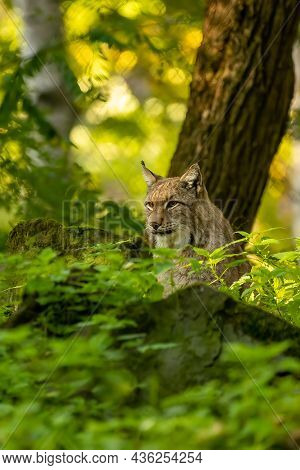 A Beautiful Lynx (bobcat) Hiding In A Forest In A Natural Reserve In Germany At A Sunny Day In Autum