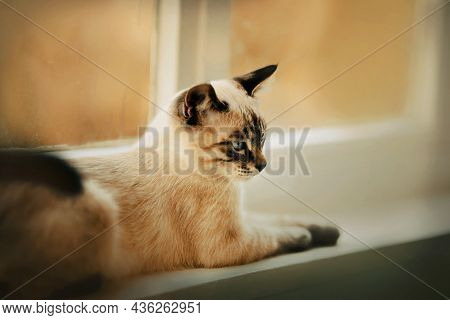 A Cute Tabby Thai Kitten With Blue Eyes Lies On A White Windowsill Near The Window On A Cloudy Autum