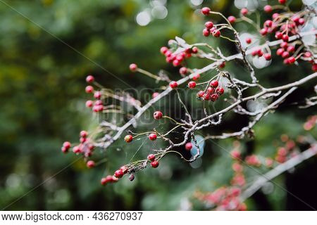 Red Berries Of A Hawthorn On A Bare Branch In Autumn. Autumn Berries. The Benefits Of Hawthorn. Sele