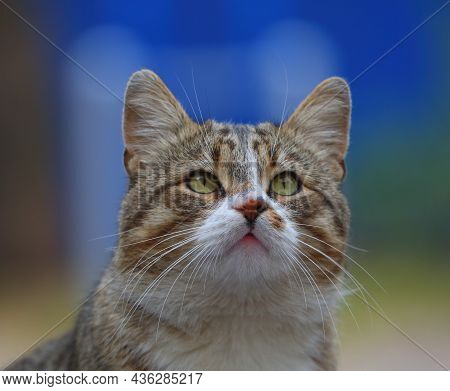 Portrait Of A Yellow-eyed Gray Tabby Cat Looking Up