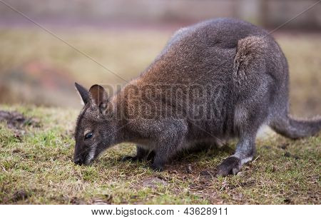 Wallaby Feeding On The Grass
