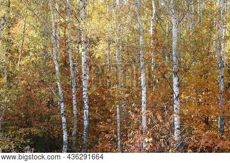 Beautiful Scene With Birches In Yellow Autumn Birch Forest In October Among Other Birches In Birch G