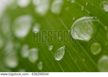 Raindrop Of Water Sparkle In Morning ,large Beautiful Drops Of Transparent  On A Green Leaf Macro ,n