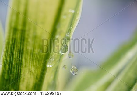 Raindrop  In Morning ,large Beautiful Drops Of Transparent  On A Green Leaf Macro ,natural Backgroun