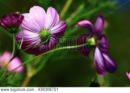 Amazing View Of Blooming Cosmos Bipinnatus(garden Cosmos,mexican Aster) Flowers,close-up Of Beautifu