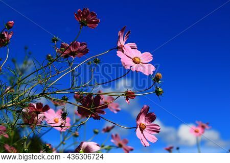 Amazing View Of Blooming Cosmos Bipinnatus(garden Cosmos,mexican Aster) Flowers,beautiful Pink Cosmo