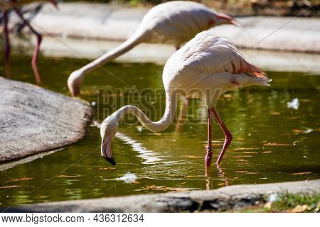 Greater Flamingo. Bird And Birds. Water World And Fauna. Wildlife And Zoology. Nature And Animal Pho
