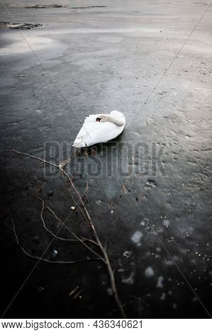 White Swan Sleeping On A Frozen Lake    Beautiful White Swan Laying On Ice On The Water Surface Putt