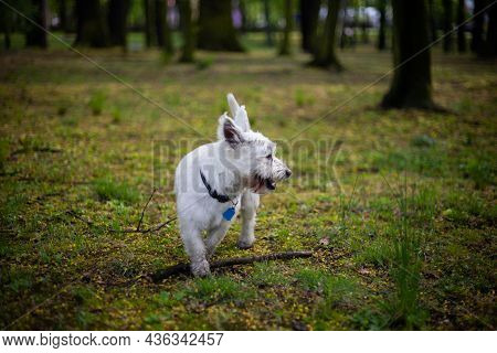 Tired West Highland White Terrier Dog Playing With Stick In The Park Panting | Front View Small Whit
