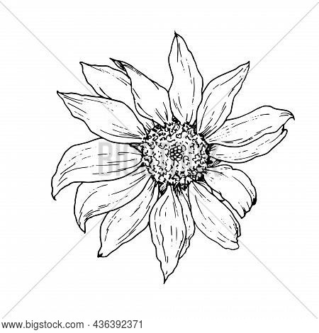 Sunflower Flower. Hand-drawn In Sketch Style, Sunflower Flower, Top View, Isolated Black Outline On