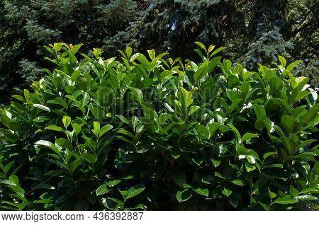 A Look At Prunus Laurocerasus Or Cherry Laurel, Evergreen Shrub In The Garden, Sofia, Bulgaria