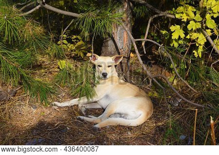 Jack Russel Parson Dog Run Toward The Camera Low Angle