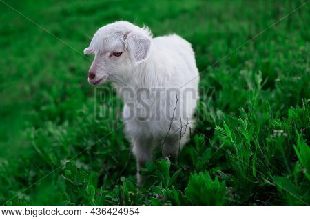 Portrait Of White Young Lamb . Cute Pet On The Grass . Young Domestic Animal On The Green Meadow