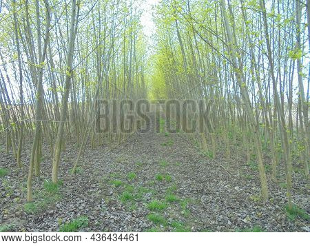 Spring Scene Of Forest Path Inside A Broadleaf Tree Alley. Birth Of Forest Arch Among The Fields.