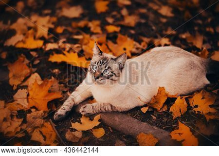 Cute Funny Tabby Cat Lies On The Ground Near The Yellow Fallen Maple Leaves On An Autumn Day. A Walk