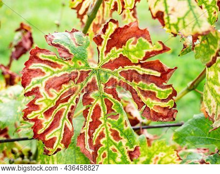 Phytoplasma, Virus And Virus Like Diseases In Vines Plants. Leaves Affected By Disease. The Grapevin