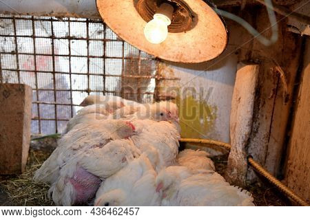 The Hens Sit Under A Heat-radiating Light Bulb On The Chicken Farm
